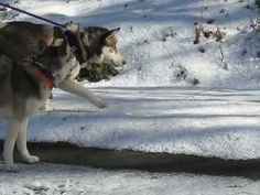 Since today's post was on the same topic, here is a video for Throwback Thursday from 2009 - Cheoah Snow Slide! #dogs #siberianhusky