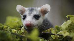 baby possum <3