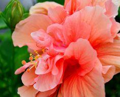 Orange Hibiscus - null