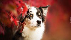 Opis: Pies, Owczarek australijski, Mordka, Liście