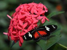 doris longwing butterfly enjoying a flower snack