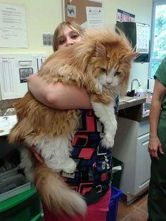 Le chat dit« Maine Coon » est une race de chat à poils mi-longs, originaire de l'État du Maine, aux États-Unis. Ce chat au physique rustique a pour caractéristiques une grande...