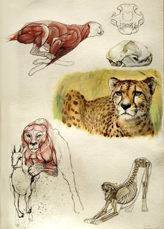 Cheetah anatomy by Quentinvcastel on DeviantArt