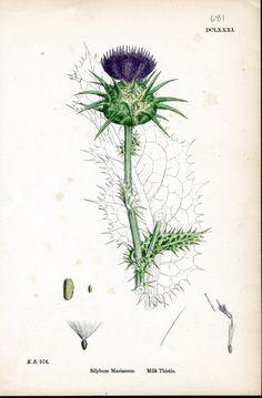 thistle botanical print - Google Search