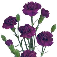 Bulk cut dark purple Mini Carnations for weddings and events! Use as floral accents or filler for flower centerpieces. Premium wholesale purple mini carnation flowers direct from the farm for maximum freshness to you.