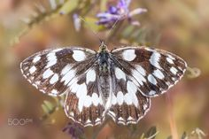 The Marbled White - The Marbled White Butterfly (Melanargia galathea)