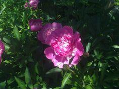 Розовый  пион  -  наш  сад,  2014.