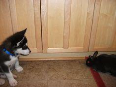 ohhh i want a husky one day!