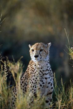 Great shot of a Cheetah Scanning the horizon on a morning hunt. Great Shots, Cheetah, Fox, Animals, Animales, Animaux, Foxes, Animal, Animais