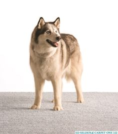 Relax it's Lees! Great nylon carpet with high stain resistant features makes it perfect for pets! Available at Ed Selden Carpet One Lees Carpet, Nylon Carpet, Husky, Relax, Pets, Animals, Animales, Animaux, Animal