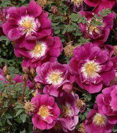Hybrid Spinosissima Rose: Rosa 'William III' (origins unknown, before 1850)