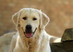 DaVinci x Evie Puppies (2013) - Suncrest Golden Retrievers