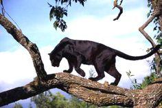 Black jaguar (Panthera onca)