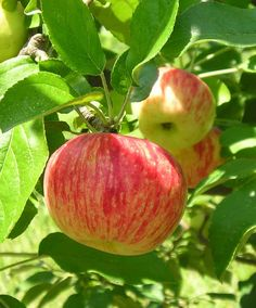 Old southern apples. Heirloom varieties that were bred in the south and should be easy for us to maintain.