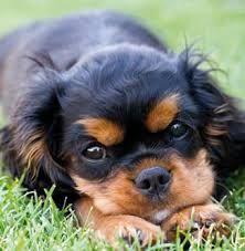 king charles cavaliers - Google Search
