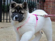 Akita. I like the white body and the the dark head, like two dogs fused into one!  Lol