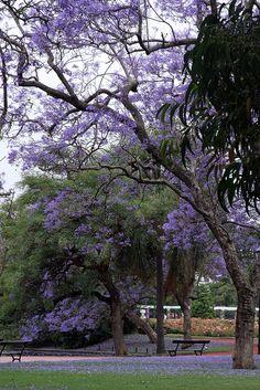 Jacaranda en flor BUENOS AIRES
