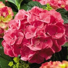 Forever & Ever® Red Hydrangea So good it's patented! A stunning red hydrangea with brilliant red blooms and burgundy-red strong stems. The large mophead flowers begin blooming red and then fade to shades of purple. Most remarkable, this new variety of hydrangea blooms on new growth. This means that it will reliablly bloom even in the north and continue to bloom all summer until frost. Its compact size of only 30-36'' tall and wide makes it ideal for landscaping projects and shrub borders…