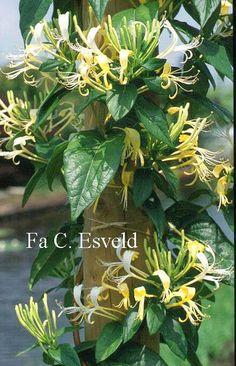wintergroene kamperfoelie sterk geurend, grootbloemig. Een van de uitzonderingen op de regel. Wintergroen en geurende bloemen!, Lonicera similis var. delavayi