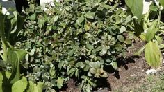 Video: How to Plant Blueberry Bushes in a Perennial Garden