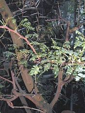 List Of Acacia Species Known To Contain Psychoactive Alkaloids Wikipedia In 2020 Trees To Plant Species Acacia