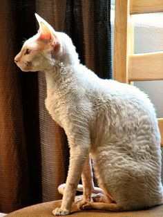 Cornish Rex. I met one today (a deaf kitty who was a rescue) and he was the softest thing I ever felt. Now I want one!