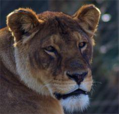 portrait of lioness by Dimi van Schoor on 500px