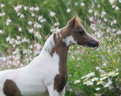 An EXOTIC colt by World SUPREME Champion, Rivenburghs Jess Let Me Impress and out of a daughter of Modern Golds Candyman, a stellar sire that has proven himself over and over again in his small foal crops each year. He has his sire's amazing topline and will certainly be eye catching! Offered by Mini Horse Sales