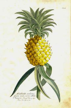 This plate is from Christopher Jacob Trew's Plantae Selectae (Nuremberg, 1750-73), which was illustrated by Georg Dionysius Ehret.