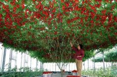 Name: Climbing Tomato Tree Seeds High Quality Seeds Fruit and Vegetable Seeds TOMATO for Home Garden Planting pieces / lot Quantity: 50 pcs Planting Vegetables, Planting Seeds, Vegetable Garden, Tomato Vegetable, Garden Seeds, Tomato Tree, Tomato Plants, Home Garden Plants, Backyard Garden Design