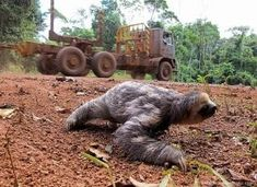 Humans are a sloth's greatest threat. The deforestation of rainforests take away the homes of thousands of organisms.