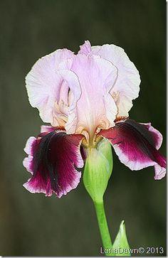 ~Armageddon Iris Iris Flowers, Types Of Flowers, Flowers Nature, Beautiful Flowers Garden, Amazing Flowers, Pretty Flowers, Exotic Plants, Exotic Flowers, Colorful Flowers