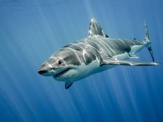 The Great White Shark: King of the Ocean by Ramón Carretero - Photo 124049765 / Largest Great White Shark, The Great White, Spirit Animal Totem, Animal Totems, Hai Tattoos, Shark Activities, The Animals, Shark Photos, Ocean Life
