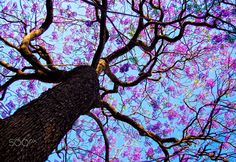 Lavender Sky - A  Jacaranda tree. To view more of my other work please visit my website www.nehaguptaphotography.com or you can also check out my Insta: www.instagram.com/ne_hah