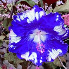 Over the sea blue sky and clouds hibiscus, hardy through winter Tropical Flowers, Hibiscus Flowers, Exotic Flowers, Large Flowers, Amazing Flowers, Blue Flowers, Beautiful Flowers, Blue Hibiscus, Hawaiian Flowers