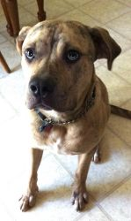Hi, I'm Gunner, a handsome Catahoula Bulldog which means I am part Catahoula Leopard dog and part American Bulldog.  I am 14 months old, but already neutered and up-to-date with my shots. Unfortunately, my current owner crates me for most of the day and I really like to be out with people.  I love to walk or run with a companion and will be great with children once I am trained properly - right now my exuberance can get the best of me when I am allowed out and about.  If you have time in…