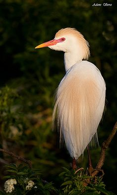 Cattle Egret......love them cows, however I have only spotted them in a wetland area.  Their orange feathers are so distinct and beautiful.  Haven't seen anything like it.