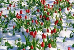 Tulips in Snow, Jeremy Ranch, Park City, Utah
