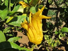 Buddha's Hand Citron by Jeff3629, via Flickr