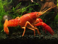 "1 Live Neon Red Crayfish/Freshwater Lobster (3""+ Young Adult!) - Stunning Red Variant of the Electric Blue Crayfish by Aquatic Arts (formerly InvertObsession)"