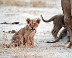 Lion Cub, Hwange National Park