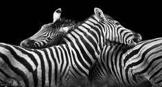 Zebra fight / Wolf Ademeit