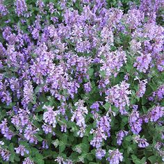 Persian Catnip - Get detailed growing information on this plant and hundreds more in BHG's Plant Encyclopedia.