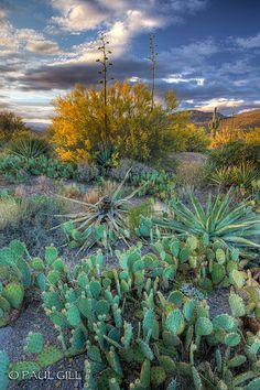 spring blooms of yellow palo verde and century plantsat last light on the Apache Trail, Tonto National Forest, Arizona
