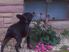 Whimsey sniffing the pretties...#French Bulldogs