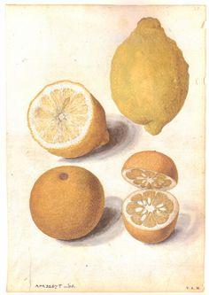 Jacques le Moyne de Morgues (c. 1533-1588), Lemon and Seville Orange Fruits.