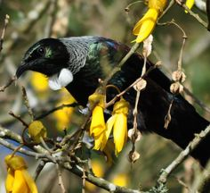 Tui in my Kowhai tree by Kristin Hyde