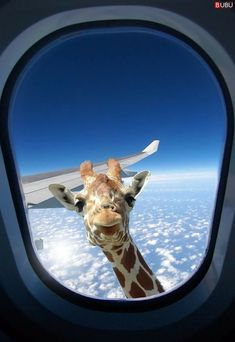 Forget birds new giraffe model capable of reaching heights up to 35000 feet. Cute Funny Animals, Cute Baby Animals, Funny Cute, Animals And Pets, Cute Dogs, Zoo Animals, Tier Wallpaper, Wallpaper Iphone Cute, Animal Wallpaper