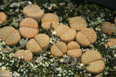 Lithops fulviceps | Flickr - Photo Sharing!