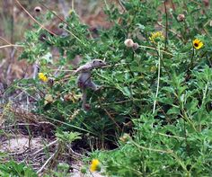 A young Mexican ground squirrel explores his habitat. Padre Island National Seashore, NPS photo.